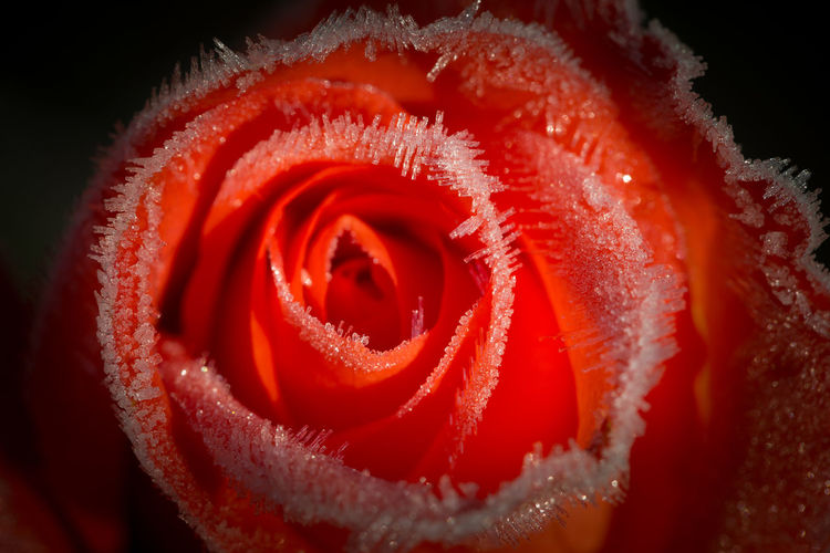 Frost on red rose Backgrounds Beauty In Nature Blooming Blossom Close-up Extreme Close Up Extreme Close-up Flower Flower Head Fragility Frost Frozen Full Frame Hoarfrost Ice In Bloom Macro Nature No People Petal Red Rosé Rose - Flower Single Rose Winter