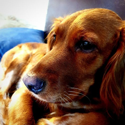 Close-up of dog looking away at home