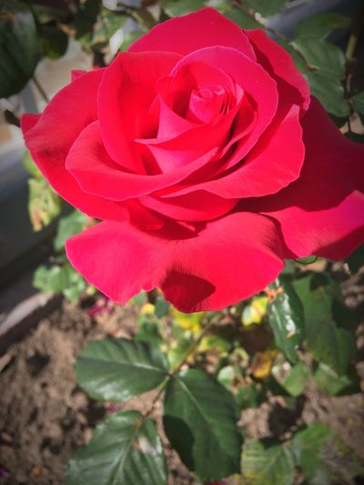 Flower Beauty In Nature Nature Red Rose - Flower Flower Photography Flowers,Plants & Garden Flower Collection EyeEmNewHere