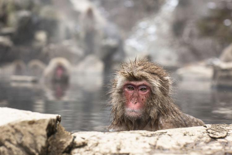 Snow monkeys bathing in japan