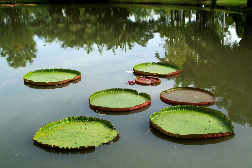 Lotus Flower Lotus Leaf Beauty In Nature Floating On Water Leaf Lily Pad Lotus Water Lily Plant Pond Water Water Lily