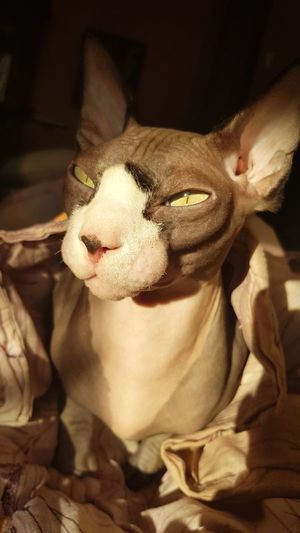 Domestic Animals Domestic Cat Sphynx Sphynx Cat Sphynx Lover Eye Green Eyes Green Eye Pets Protruding Portrait Collar Eyes Closed  Sticking Out Tongue Close-up Animal Eye Cat Kitten