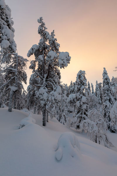 Snowy trees in midwinter light in the hills of Vuokatti, Finland. Boreal Forest Finland Beauty In Nature Cold Temperature Colorful Clouds Coniferous Trees Day Landscape Nature No People Outdoors Ridge Scenics Shapes And Forms Sky Snow Snow Covered Trees Taiga Thick Snow Tranquil Scene Tranquility Tree Untouched Winter