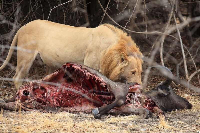 Side view of a lion with its hunt
