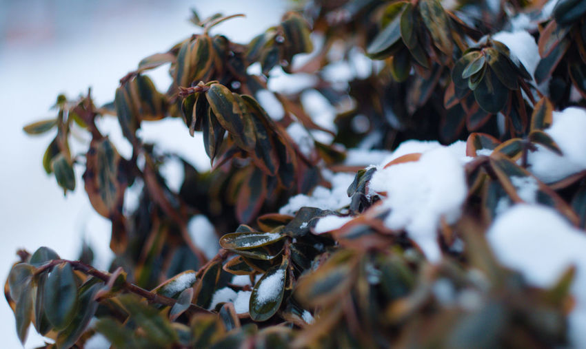 Fresh snow Fresh Snow Beauty In Nature Snow Nature Frozen Plants Frozen Chilly Brown And Green Green And Brown No People Plant Part Leaf Focus On Foreground Outdoors Cold Temperature Melting Snow Melting Plant Leaves Winter Selective Focus Close-up Growth Day Gh5