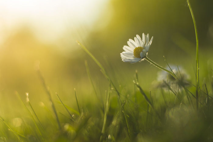 Those small details are mady when you lay down in the grass, sunset is starting to change the light a little bit and everything is just how it should be Beauty In Nature Blooming Blossom Blur Botany Canoncz Close-up Colorful Daisy Daisy Flower Flower Flower Head Flower, Freshness G Grass Growing In Bloom Nature Pentacon Pentacon 50mm 1.8 Petal Share Your Adventure Showcase June