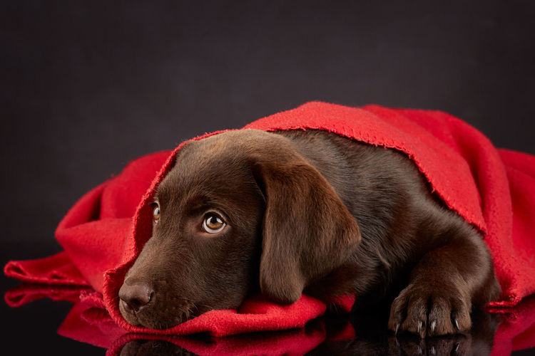Sleeping Labrador Puppy Cute Dog Domestic Animals Labrador Chocolate Labrador Retriever No People One Animal Pets Puppy Qute Animals Red Blanket Retriever Sleeping Dog Pet Portraits