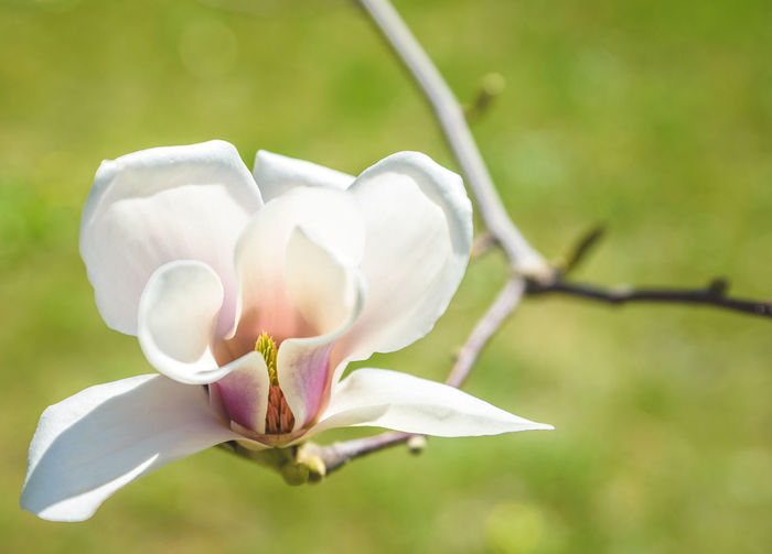 Beauty In Nature Close-up Day Flower Flower Head Focus On Foreground Fragility Freshness Growth Magnolia Magnolia Blossoms Magnolia Flower Magnolia Tree Magnolia_Blossom Nature No People Outdoors Plant Tree White Magnolia White Magnolia Flower