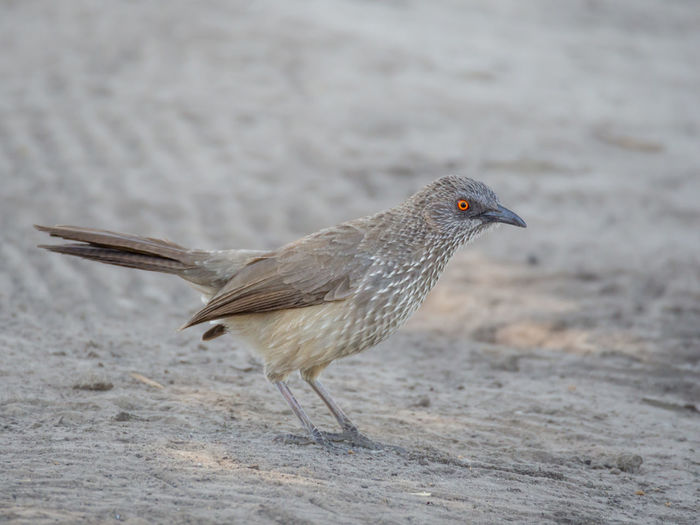Close-up of starling bird on sand