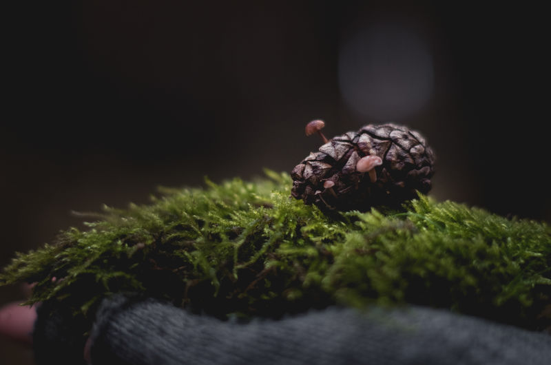 Close-up of pine cone on grassy field