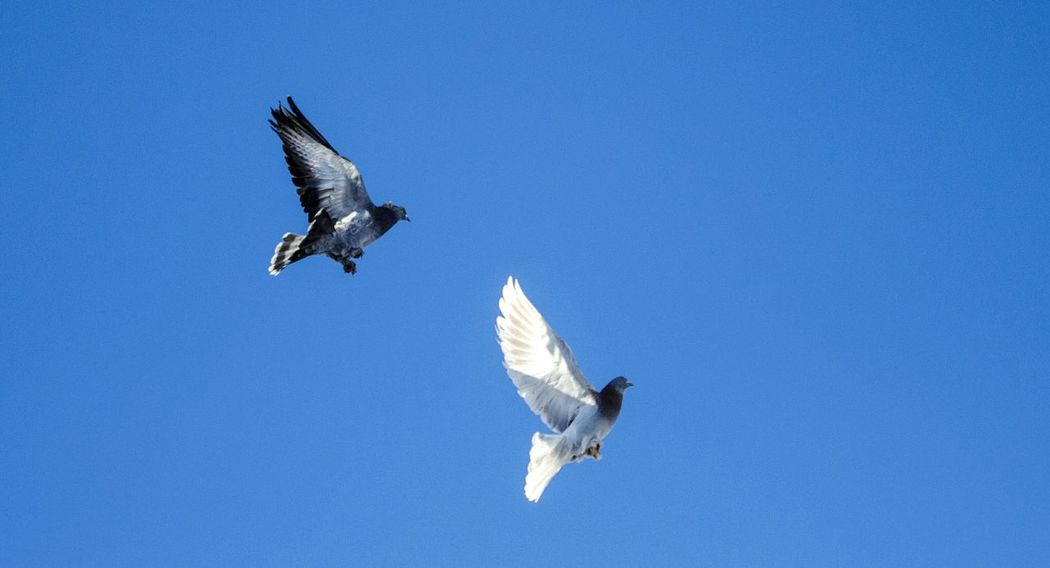 fly to freedom Freedom Pigeon Dove Flapping Bird Of Prey Mid-air Blue Motion Sky Dove - Bird