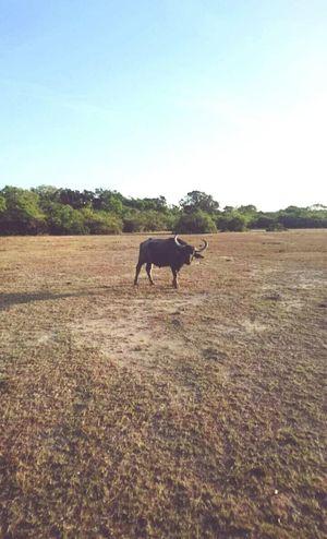 Bull Animal Themes One Animal Outdoors No People Safari Sri Lanka Travel