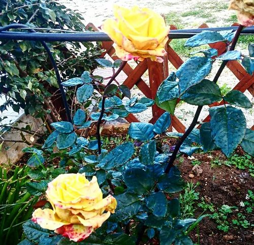 Love Nature Photography Photo Love Naturelovers Roses Flowers  Springtime Photooftheday Photography Flowers Streetphotography Garden Photography Nature