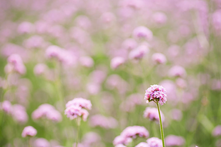 Verbena bonariensis Backgrounds Beauty In Nature Blackandwhite Blooming Close-up Flower Focus On Foreground Fragility Freshness Growth Nature No People Pink Color Plant Summer Verbena Bonariensis