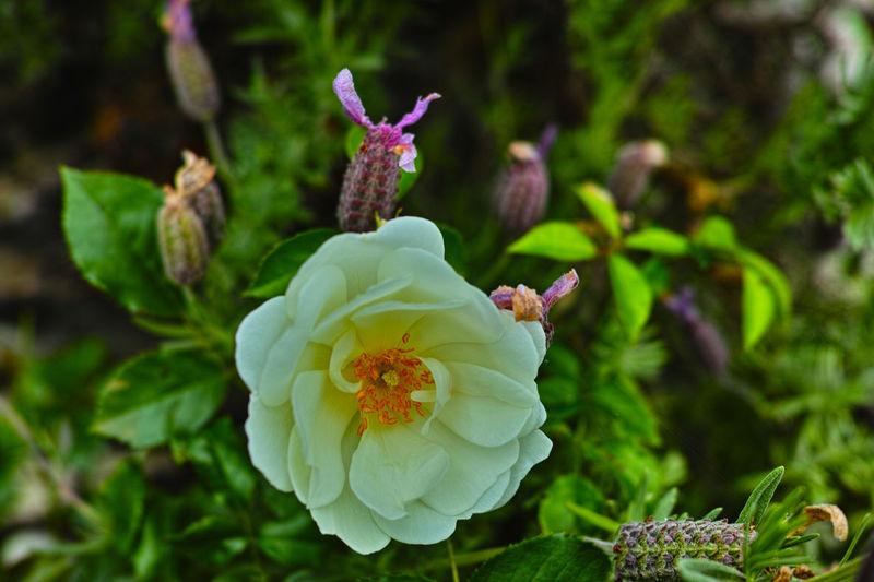 spring time 白玫瑰 Flower Head Flower Beauty Multi Colored Leaf Petal Summer Springtime Softness Close-up Plant Life Blossom