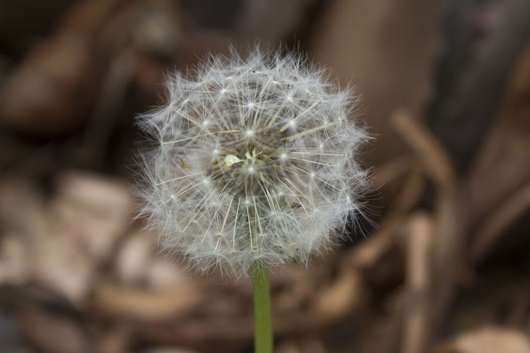 Beauty In Nature Blossom Botany Close-up Dandelion Day Flower Flower Head Focus On Foreground Fragility Freshness Growth Nature No People Outdoors Plant Seed Softness Springtime Uncultivated White Color Wildflower