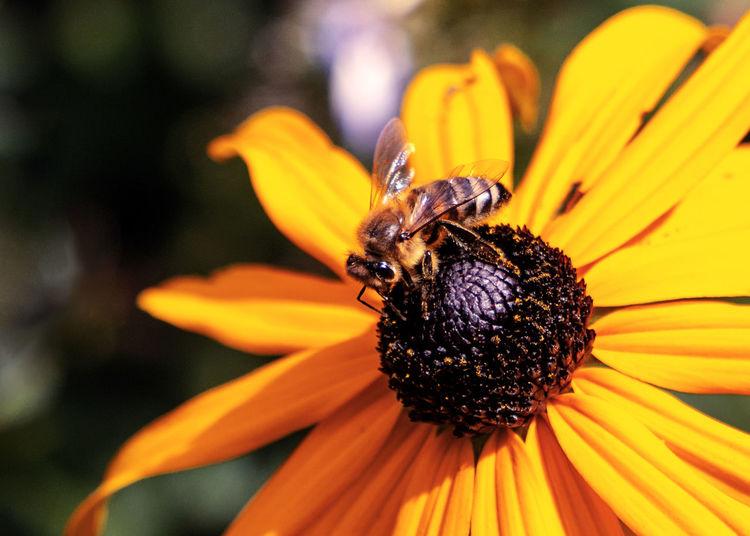 Biene 🐝 Blütenstaub Insekt Nektar