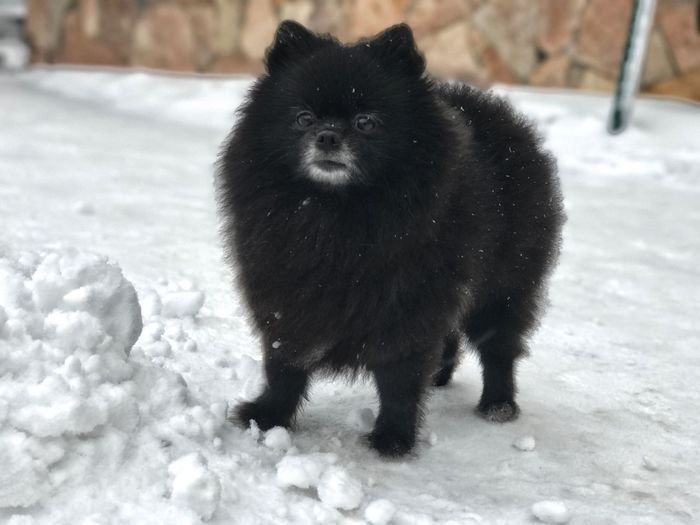 Animal Themes Mammal One Animal Winter No People Black Color Snow Pets Cold Temperature Full Length Animals In The Wild Portrait Domestic Animals Outdoors Day Nature Close-up