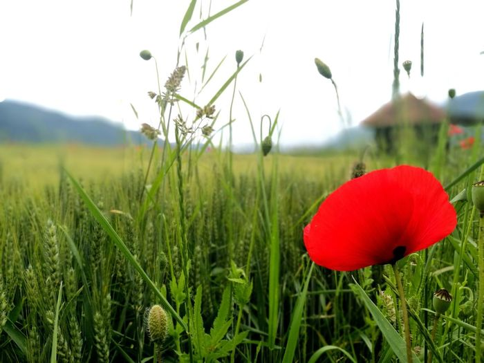 Something red..Red Growth Field Grass Nature Poppy Agriculture Rural Scene Outdoors Cereal Plant Flower Sky Backgrounds Eyeem Photography EyeEmNewHere Outdoor Photography EyeEmBestPics Eyemphotography EyeEm Best Shots Background Photography Beauty In Nature Grass Nature Red Plant