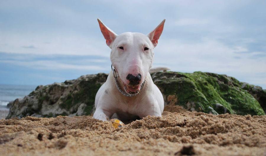 Animal Themes Bullterrier Close-up Day Dog Horizontal Looking At Camera Mammal No People One Animal Outdoors Pets Portrait Praia Da Poça Sky