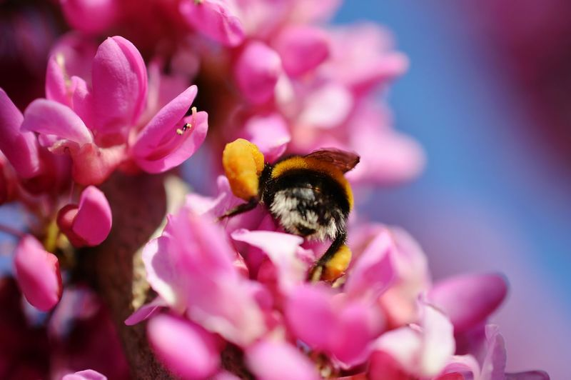 Close-Up Of Bumblebee Pollinating On Pink Flower