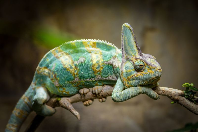 Side View Of Chameleon Resting On Branch