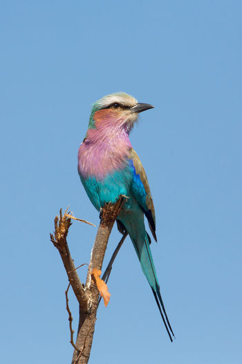 Low angle view of lilac-breasted roller perching on twig against clear sky