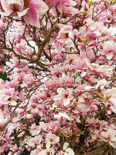 Magnolie Tree