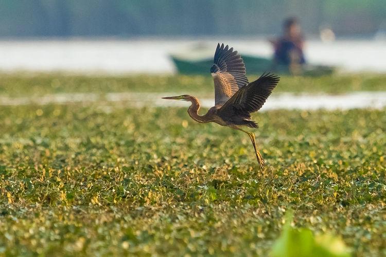 湖上草鹭 Bird Bird