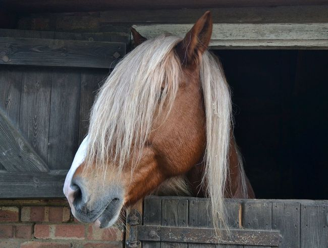 Must get a comb! No People Daytime Close-up Headshot Equine Photography Equestrian Stable Door Animal Mane Horse