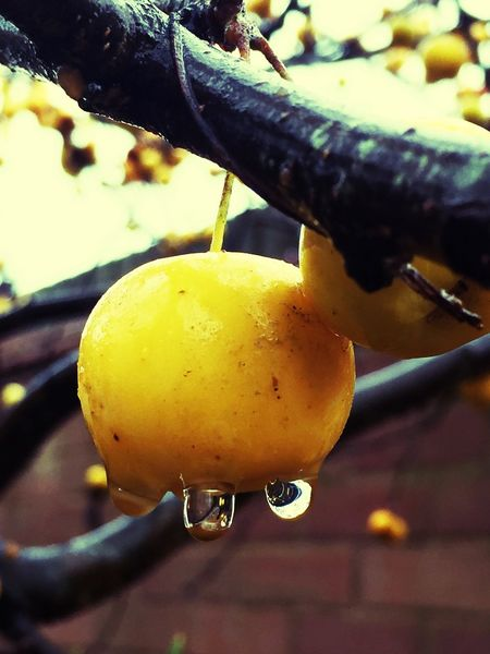 Crabapple Close-up Yellow Focus On Foreground Freshness Food And Drink Nature Outdoors Fruit Food Day crab apples]apple] Fruit Crab Apples Malus Golden Hornet Rain Drops Water Droplets Drops November Fall Trees Tree Autumn Autumnal Close Up