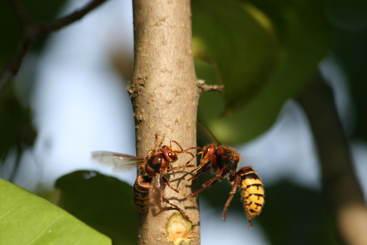 Animal Themes Animals In The Wild Botany First Eyeem Photo Focus On Foreground Insect Nature No People Wildlife Hornets Hornet