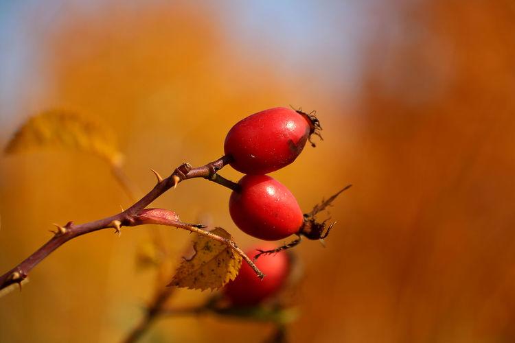 Autumn Autumn Collection Autumn Colors Briar Dog-rose Drug Fruit Healing Mood Orange Color Red