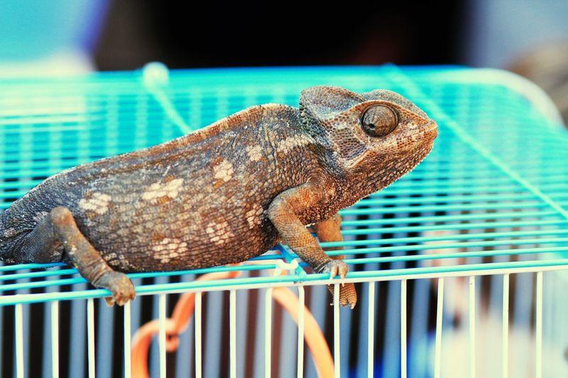 Camaleonte Mauritian_life Mauritania EyeEm Selects Animal Themes One Animal Animal Animal Wildlife Reptile Lizard Chameleon Focus On Foreground Cage Animals In Captivity Vertebrate