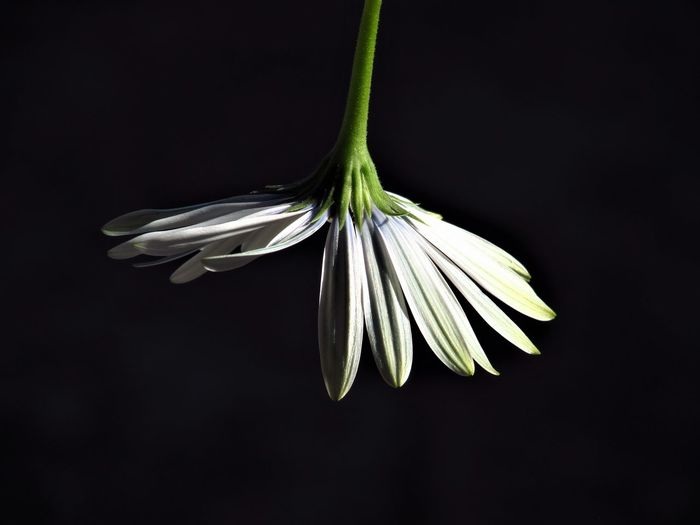 Close-Up Of White Flower Against Black Background