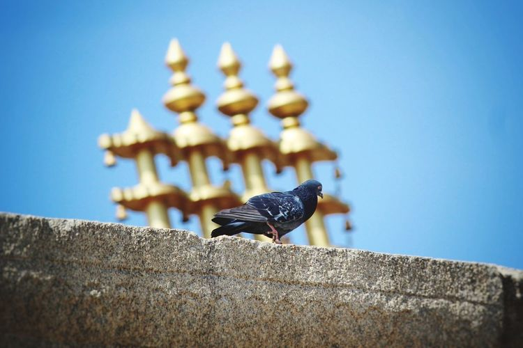 Pigeon is playing around the temple
