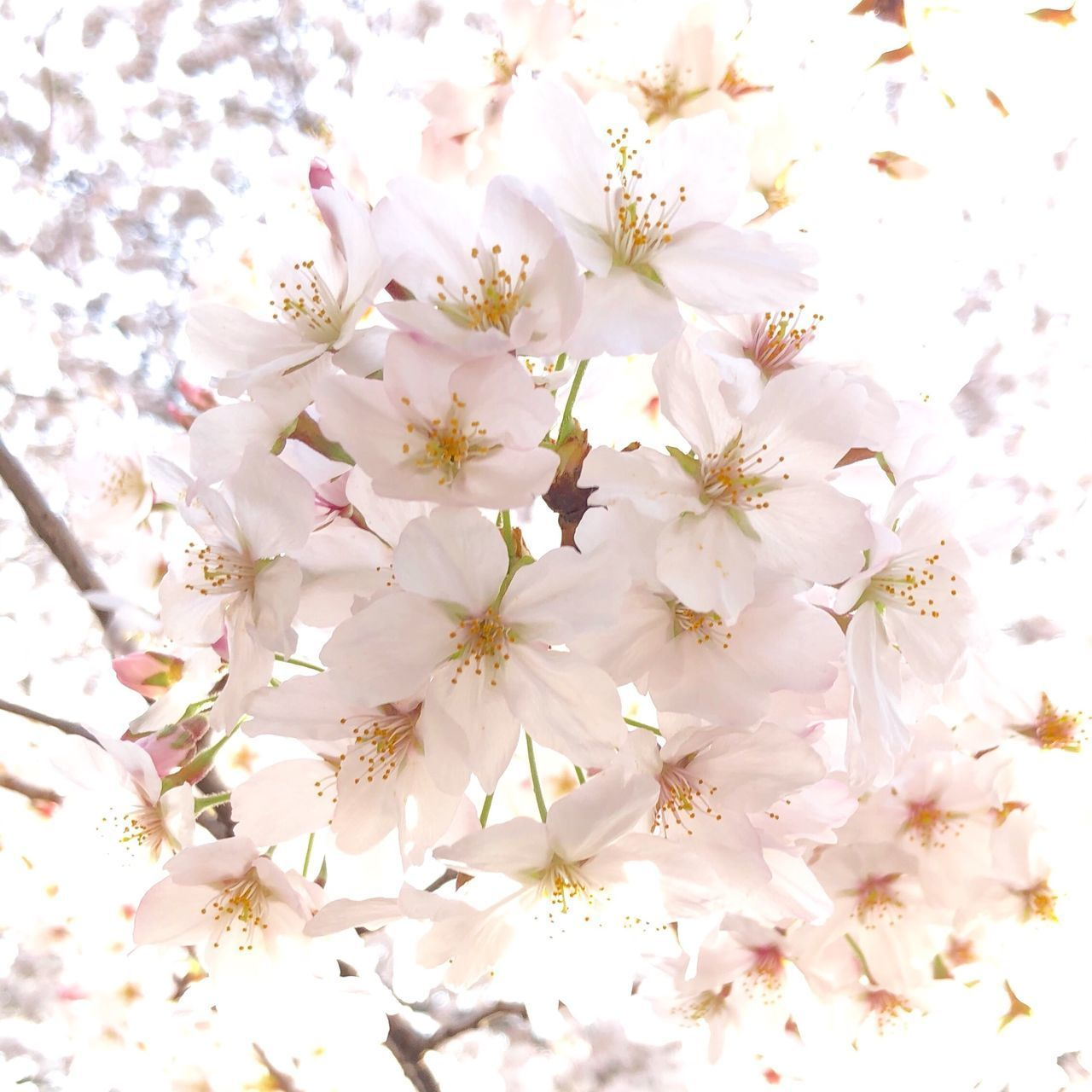 flower, flowering plant, freshness, plant, beauty in nature, fragility, vulnerability, close-up, petal, growth, no people, nature, white color, full frame, inflorescence, backgrounds, flower head, blossom, day, springtime, cherry blossom, pollen