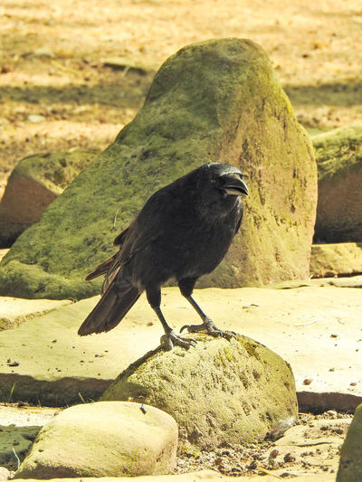 Abraxas Animal Animal Themes Animal Wildlife Animals In The Wild Bird Black Bird Black Color Crow Day Focus On Foreground Land Nature No People One Animal Outdoors Perching Raven - Bird Rock Rock - Object Solid Sunlight Vertebrate Zoology