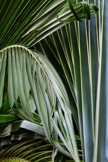 Green leaves of coconut in tropical of is selective and shadow is popularly grown in thailand