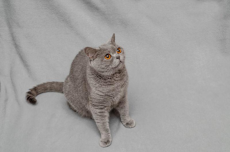 Gray british cat sitting on a bluish rug.