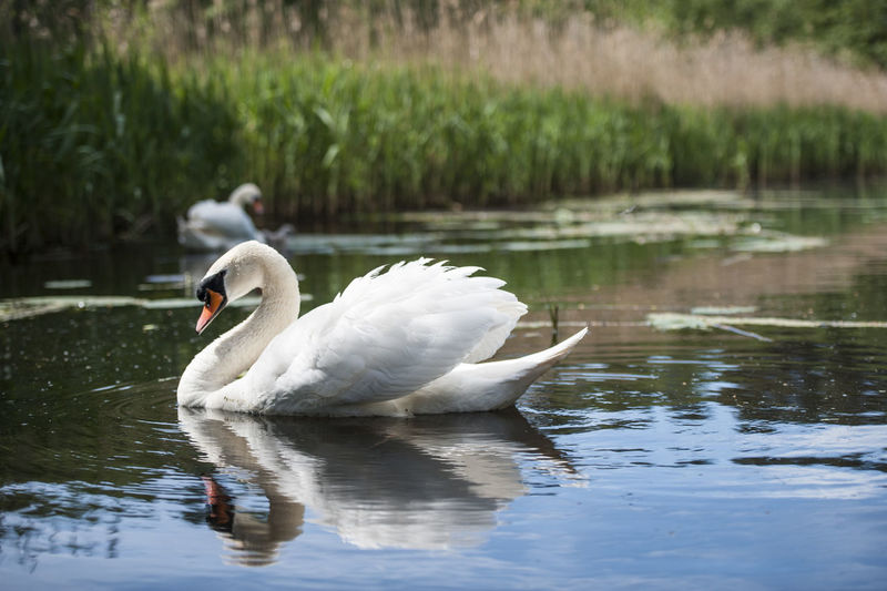 personal photo Animal Animal Themes Animals In The Wild Beauty In Nature Bird Day Focus On Foreground Lake Mute Swan Nature Outdoors Swan Tranquility Water Water Bird Waterfront Wildlife Zoology