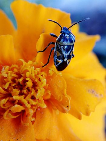 Beetle Insect One Animal Animal Themes Maximum Closeness Macro Close-up Nature Beauty In Nature Mobilephotography LeTv X600 Letv LeEco Macro Lens