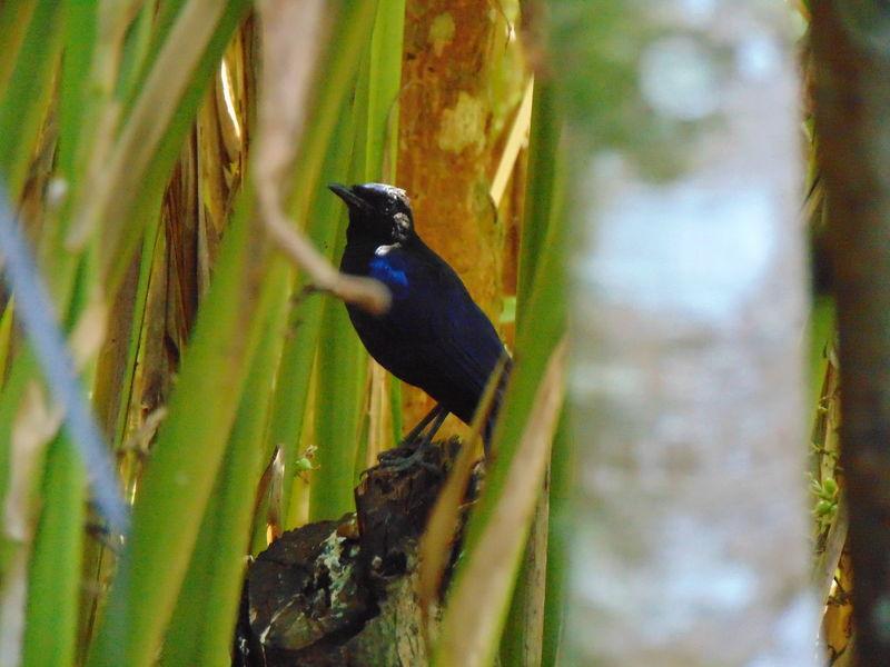 waiting for someone# Asian koel# munnar Birds Indian Birds Asian Koel