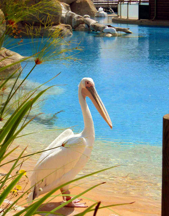 Animal Animal Themes Beak Birds Nature Nature Pelican Summer Water Wildlife