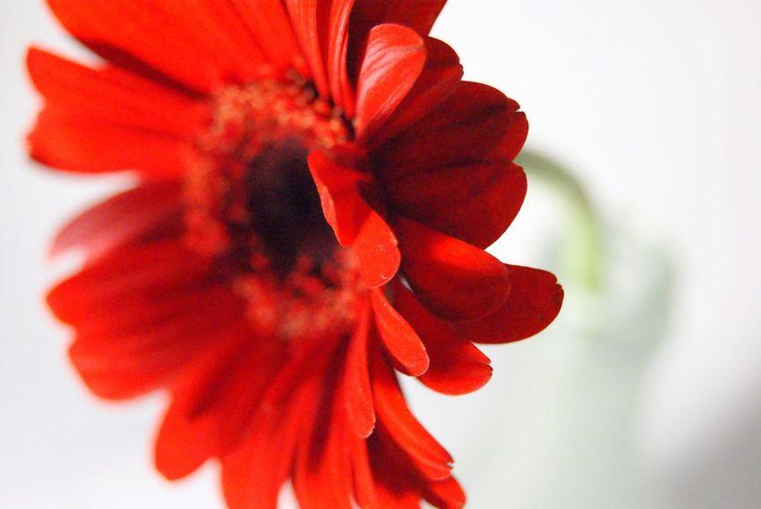 Flowers Flower Photography Red Red Flower Single Object Single Flower Red Gerbera Gerbera