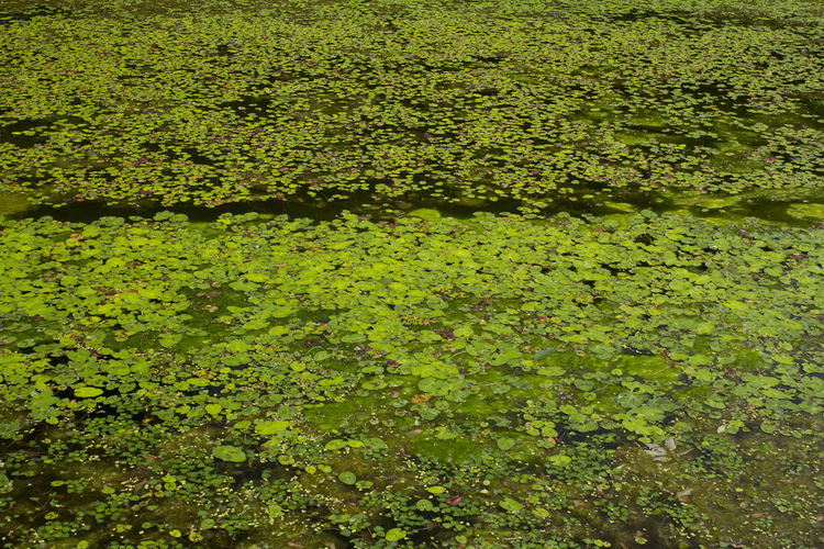 Water lily leaves in a pond. Abstract Alga Algae Backgrounds Beautiful Nature Beauty In Nature Bio Biodegrade Full Frame Green Green Color Growing Leaves Marsh Nature No People Plant Pond Swamp Ugly Water Water Lily Water Plants Waterweed