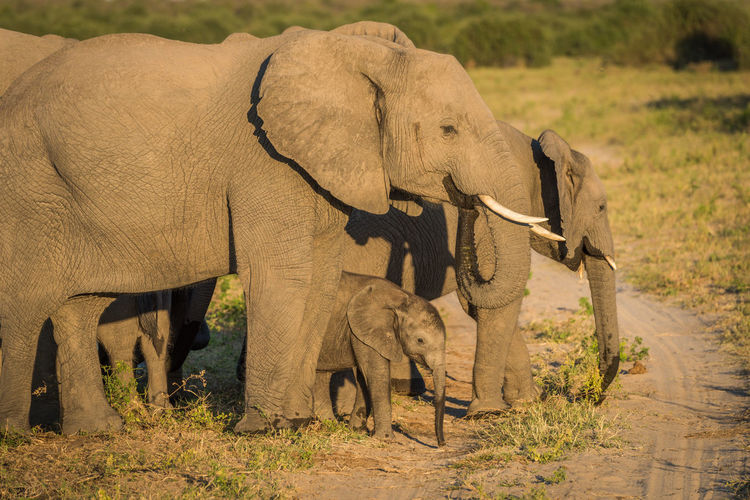 African elephant family in forest