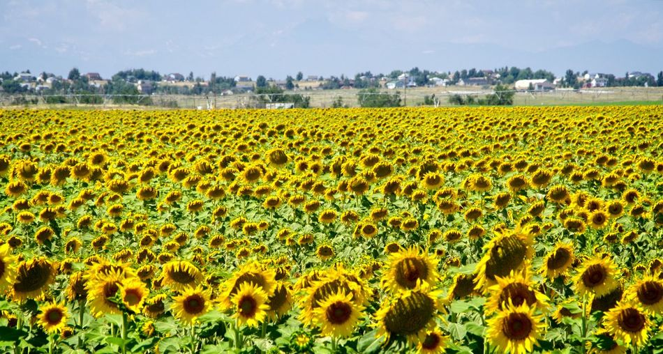 Sunflower field Plant Field Landscape Growth Land Yellow Environment Beauty In Nature Nature Rural Scene Agriculture Flower Flowering Plant Sunflower Sky Scenics - Nature Day Freshness Farm Flower Head No People Outdoors Sunflower Field Sunflower Seed