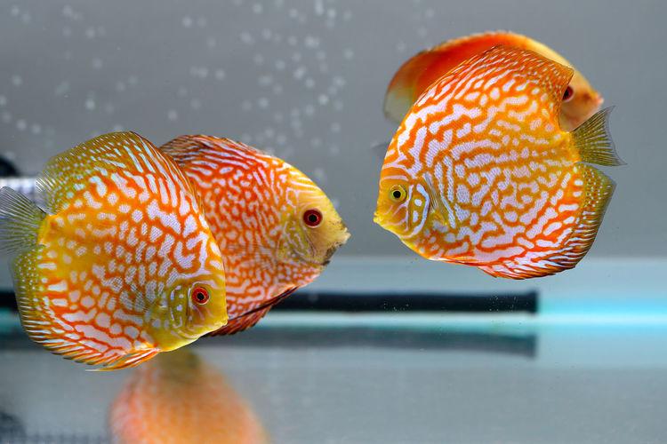 Close-Up Of Orange Fish In Tank