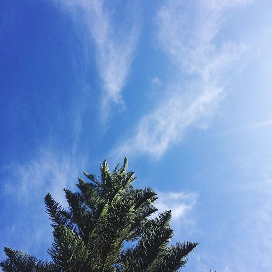 Low Angle View Tree Palm Tree Sky Blue Beauty In Nature Nature Growth Cloud - Sky Day No People Palm Frond Outdoors Tranquility Scenics Tree Nature EyeEmNewHere
